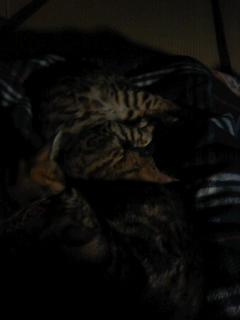 寝床の猫なう